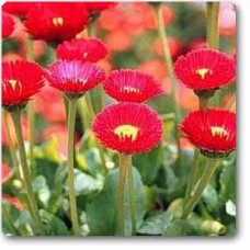 Bellis Perensis, Daisy Red - Seeds