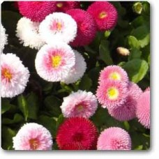 Bellis Perensis, Daisy Mixed - Seeds