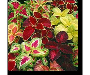 Coleus Rainbow Mixed - Seeds
