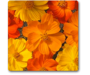 Cosmos Bright Light Mixed - Seeds