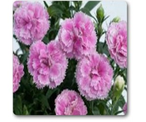 Dianthus Baby Doll Mixed - Seeds