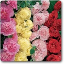 Hollyhock F1 Dwarf - Seeds