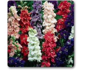 Larkspur Imperial Mixed - Seeds