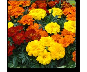 Marigold French Royal - Seeds