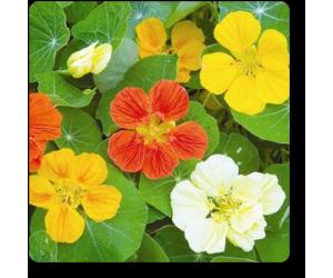 Nasturtium Variegated - Seeds