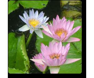 Lotus ( Mix Colors ) - 5 Seeds