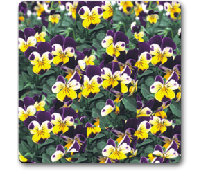 Pansy, Viola Johny Jump Up - Seeds