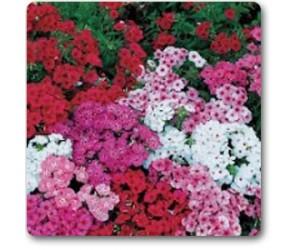 Phlox Beauty Mix Colors - Seeds
