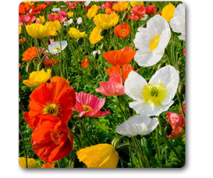 Iceland Poppy Nudicale Mixed - Seeds