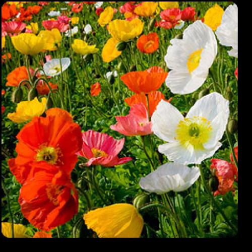 Seeds Organic Beautiful Season Long Blooms Scarlet O Hara Morning Glory 25