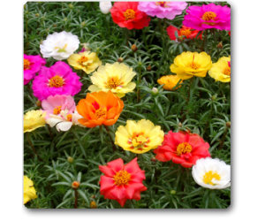 Portulaca F1 Hybrid Mix Colors - Seeds