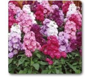 Mathiola Incanana, Stock Double Mix Colors - Seeds