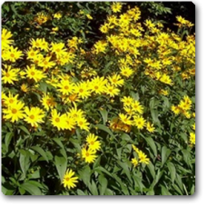 Sunflower Minature - Seeds