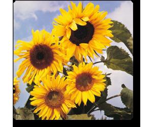 Sunflower Large Bloom - Seeds