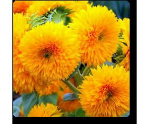 Sunflower Sungold Dwarf - Seeds