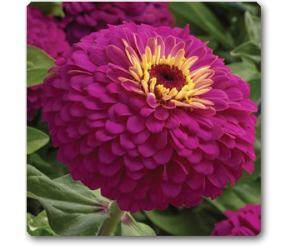 Zinnia F1 Elegans Purple - Seeds