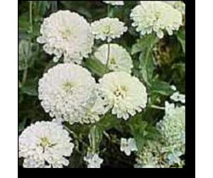 Zinnia F1 Tall White - Seeds